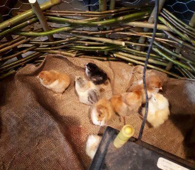 Kip en het ei
